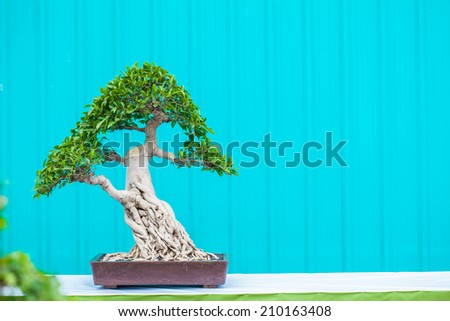 Asian bonsai - stock photo
