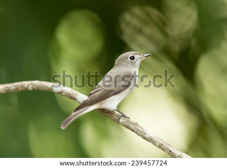 Asian brown flycatcher bird, Perching on the branch
