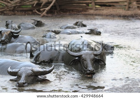 asian buffalo in mud