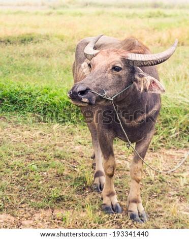 Asian buffalo in the field - stock photo
