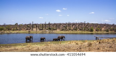 Asian bush elephant in Kruger national park, South Africa ; Specie Loxodonta africana family of Elephantidae - stock photo