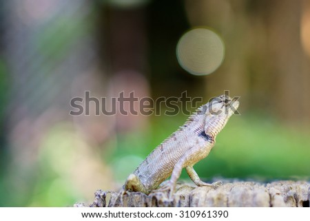 Asian chameleon climbing on wood looking something