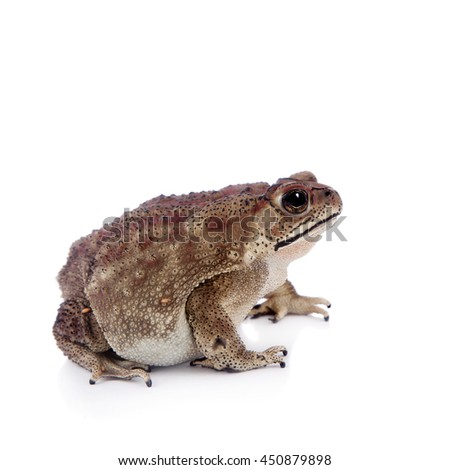 Asian common toad, Duttaphrynus melanostictus, isolated on white background