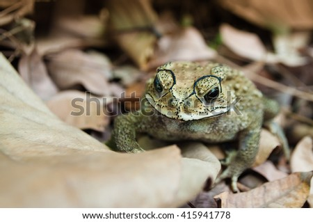 Asian common toad (duttaphrynus melanostictus) on brown leaves. Also known as  Asian toad, black-spectacle toad, common Sunda toad and Javanese toad, widely distributed in south and southeast asia. - stock photo
