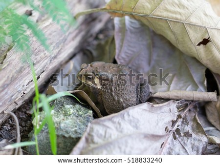 Asian common toad   in nature,Thailand