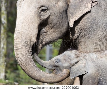 Asian elephant and baby