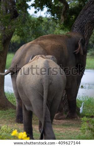 Asian elephant and its baby in the Yala National Park, Sri Lanka. - stock photo