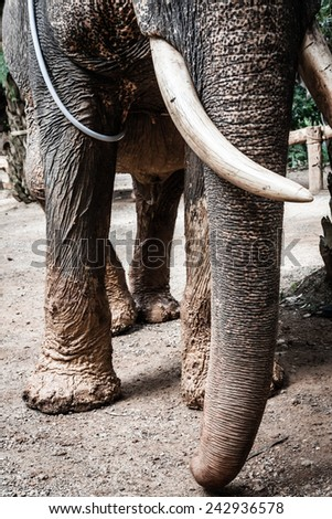 Asian Elephant at one of the Many Elephant Camps Outside of Pai, near Chiang Mai, Thailand. - stock photo