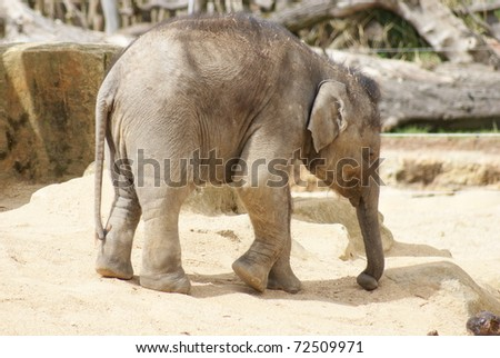 Asian Elephant Calf - Elephas Maximus