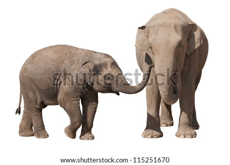 Asian elephant calf playing with his mother isolated on white - stock photo