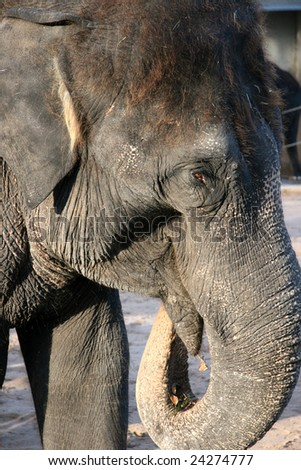Asian Elephant-Elephas Maximus