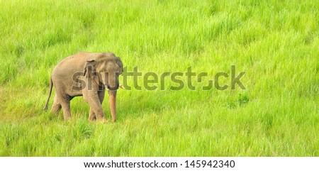 Asian Elephant (Elephas maximus) in grassland at Khao Yai national park, Thailand - stock photo