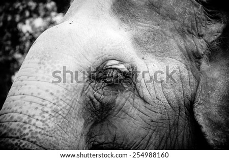 Asian elephant eyes are looking. tone black and white. - stock photo