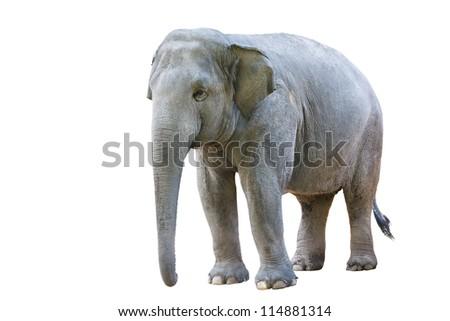 Asian elephant female, Isolated on white background - stock photo