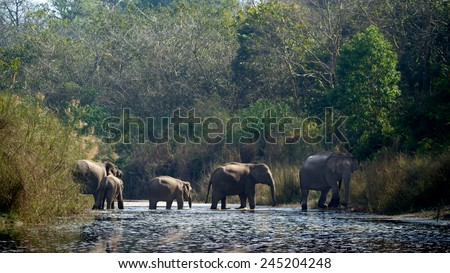 Asian elephant group specie Elephas maximus in Bardia, Nepal  - stock photo
