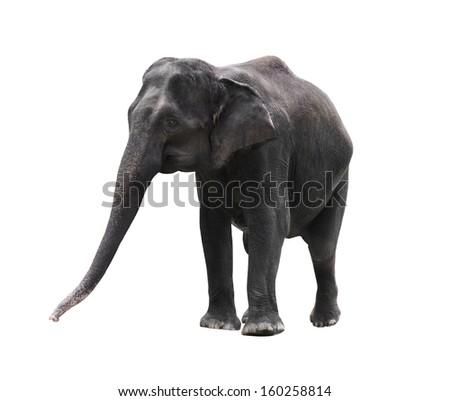 asian elephant isolated on white background - stock photo