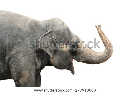 Asian elephant isolated on white background. Clipping path included. - stock photo