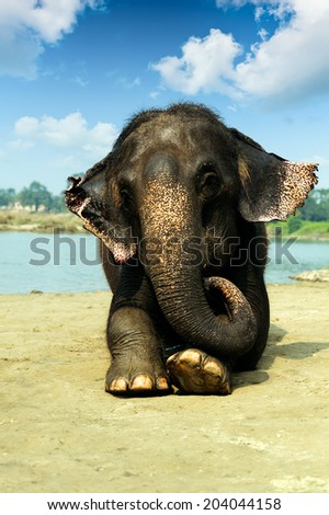Asian elephant lying at the riverside of Chitwan National park Nepal - stock photo
