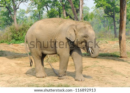 Asian elephant on chain