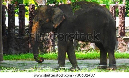 Asian elephant standing the head on the left.