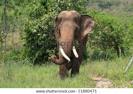 Asian elephant: this picture has been taken in Thailand - stock photo