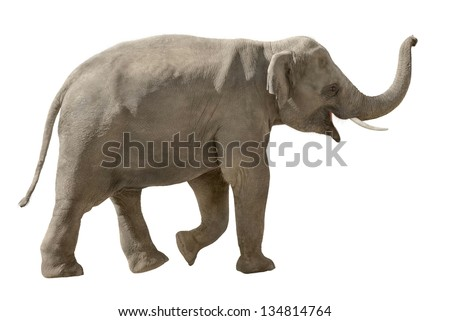 Asian elephant walking and raising his trunk in a cheerful way, isolated on white - stock photo