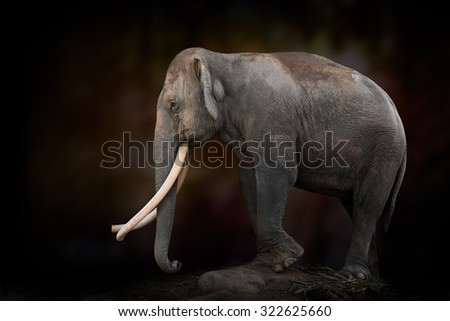 Asian elephant with long ivory on dark background