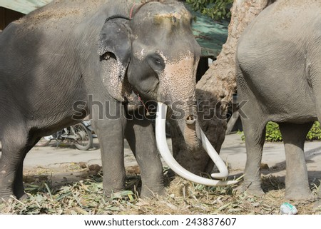 Asian elephants at one of several elephant camps outside of Ayutthaya.