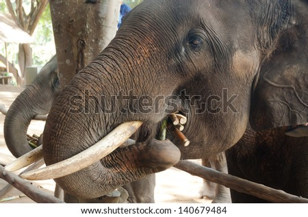 Asian elephants.Chang Thailand Elephant Conservation Center in Thailand. Hang Chat district, Lampang province, Thailand.
