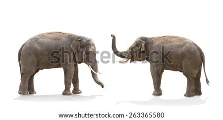 Asian elephants (Elephas maximus) on white background - stock photo