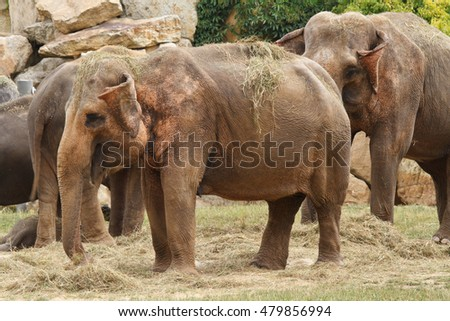 Asian elephants while eating in a zoo close-up