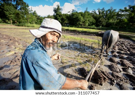 Asian farmer are training his buffalo before rice related in the