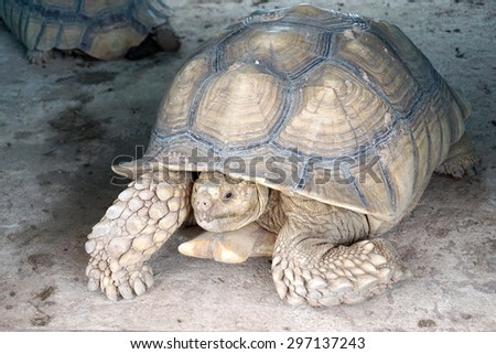 asian giant tortoise on the ground
