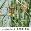 asian golden weaver - stock photo