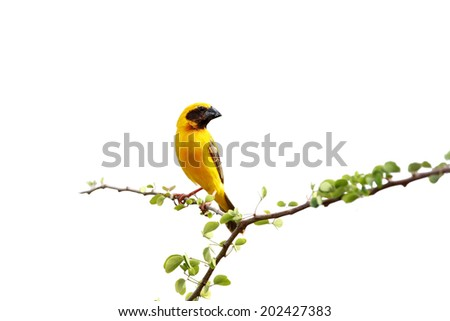 Asian Golden Weaver : Common bird that will see in rice field