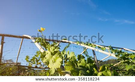 Asian Gourd farm on sunny day. - stock photo