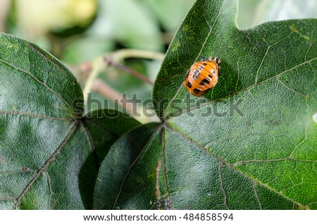 asian lady bird larva