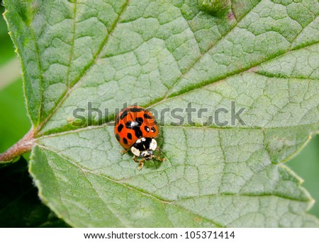 asian ladybird from above on big leaf - stock photo