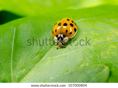 asian ladybird portrait, lightly colored variant - stock photo