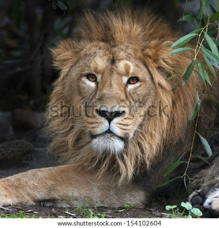 Asian lion, resting in forest shadow. Square image. The King of beasts, biggest cat of the world, looking straight into the camera. The most dangerous and mighty predator of the world. - stock photo