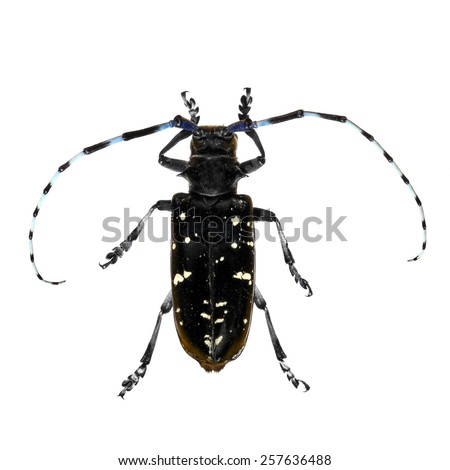 Asian long-horned beetle isolated on a white background - stock photo
