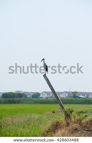 Asian openbill on the pole at paddy field.