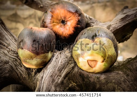 Asian Palmyra palm or Toddy palm or  sugar palm is ripe. - stock photo