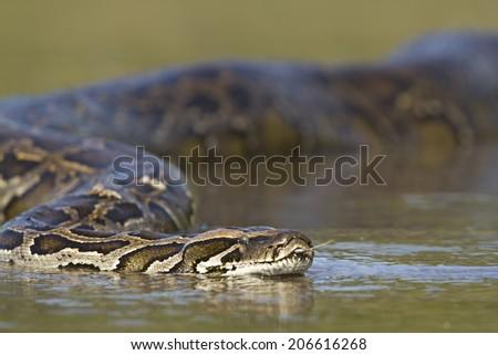 Asian python specie Python molurus, in Nepal  - stock photo