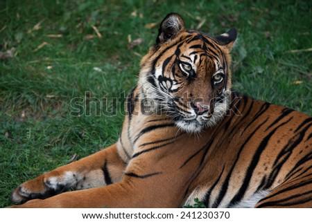 Asian Tiger - stock photo