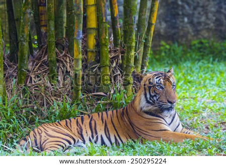 Asian tiger. - stock photo