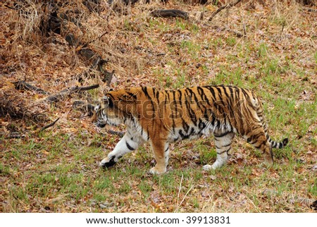 Asian tiger in natural habitat