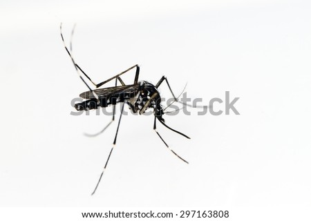 Asian Tiger Mosquito (Aedes albopictus) isolated on white background - stock photo