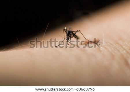 Asian tiger mosquito or forest day mosquito, Aedes albopictus (Stegomyia albopicta), - stock photo