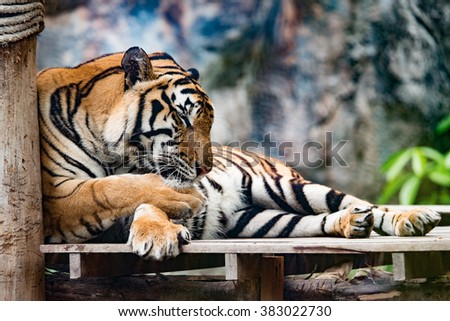 Asian tiger or Bengal Tiger in the zoo, Selective focus - stock photo